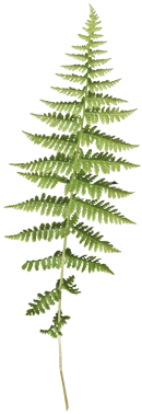 Fern with clear background