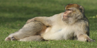 Macaques Barbary Trentham Monkey Park Mugwrap